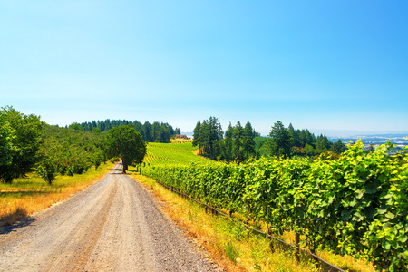 dundee: View of a dirt road passing through a vineyard in rural Oregon Stock Photo