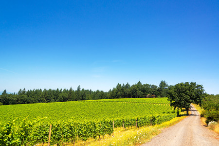 wine country: Dirt road passing through a vineyard in Oregon wine country
