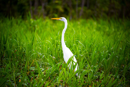 amazon rain forest: Great White Heron in lush green grass in the Amazon rain forest near Iquitos, Peru
