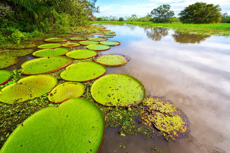 peru amazon: Victoria Amazonica, the largest waterlily in the world in the Amazon rain forest in Peru