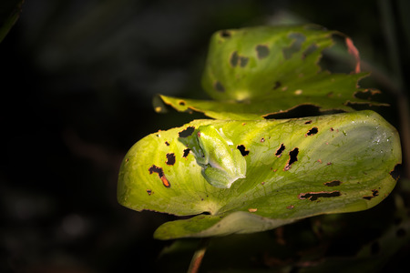 amazon rain forest: Small green frog on a leaf in the Amazon rain forest in Peru Stock Photo