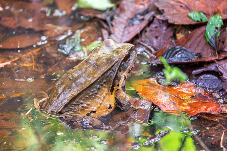 peru amazon: A large toad in the Amazon rain forest near Iquitos, Peru