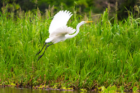 white fly: View of a great white heron taking off in the Amazon rainforest in Peru