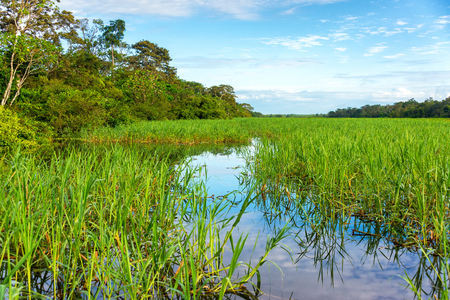 amazon forest: Grasses growing in a river in the Amazon rain forest near Iquitos, Peru
