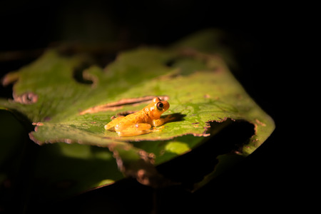 amazon rain forest: Small yellow frog on a leaf in the Amazon rain forest in Peru