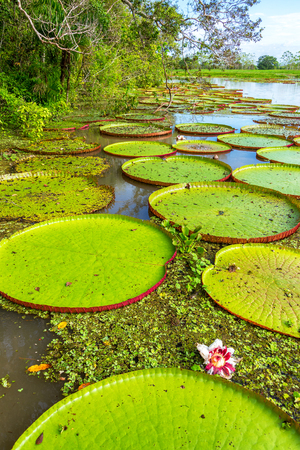 amazon forest: Vertical view of Victoria Amazonica plants, the largest waterlilies in the world Stock Photo