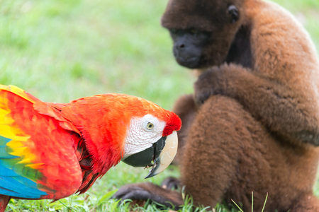 woolly: Scarlet Macaw with a Woolly Monkey in the Amazon near Iquitos, Peru Stock Photo