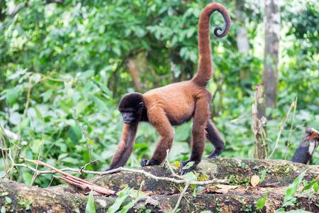 peru amazon: Woolly monkey in the Amazon rain forest near Iquitos, Peru