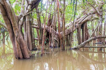 río amazonas: Los árboles y vides retorcidas en un río en la selva tropical del Amazonas en Perú