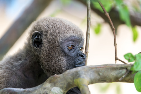 woolly: Closeup view of the face of a woolly monkey in the Amazon near Iquitos, Peru