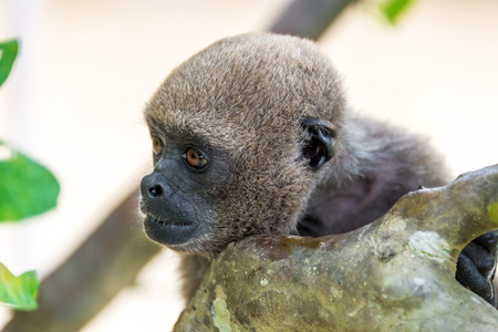woolly: View of the face of a woolly monkey in the Amazon near Iquitos, Peru