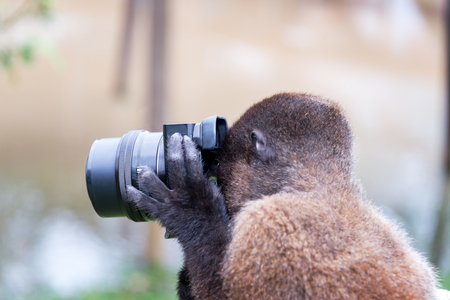 woolly: Woolly monkey using a camera in the Amazon near Iquitos, Peru