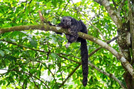 saki: Monk Saki Monkey with a long tail in the Amazon rain forest near Iquitos, Peru