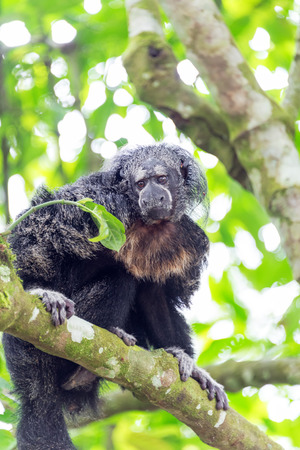 saki: View of a Monk Saki Monkey in the Amazon rain forest in Peru