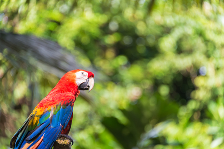 forest animals: Scarlet Macaw with out of focus foliage in the Amazon rain forest near Iquitos, Peru