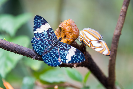 Two colorful butterflies eating food near Iquitos, Peru Stock Photo
