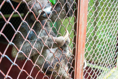toed: View of a three toed sloth in a cage near Iquitos, Peru