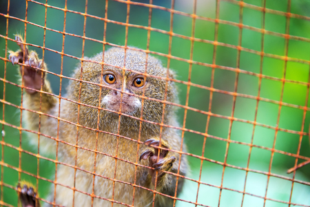 smallest: Pygmy monkey in a cage near Iquitos, Peru.  The pygmy monkey is the smallest monkey in the world. Stock Photo