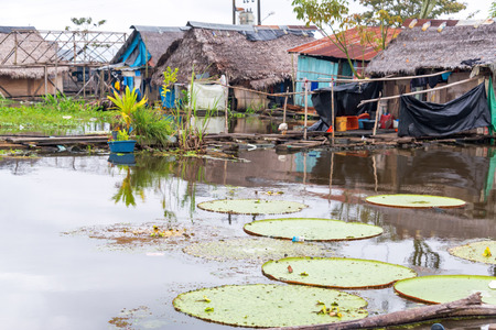 lily pad: Victoria Amazonica, worlds largest lily pad growing in a slum in Iquitos, Peru Stock Photo