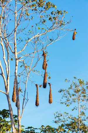 amazon forest: Oropendola bird nests hanging in a tree in the Amazon rain forest in Brazil Stock Photo