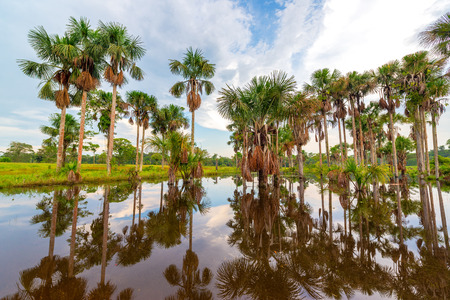 forest trees: Grove of palm trees being reflected in a pond in the Amazon rain forest near Leticia, Colombia
