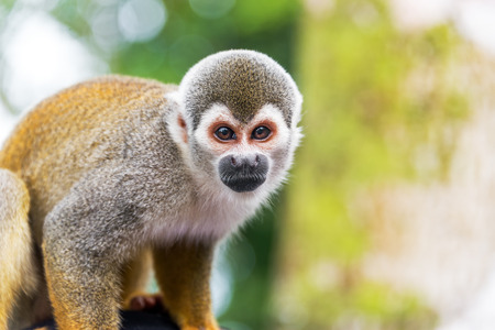amazon rain forest: Closeup of a squirrel monkey in the Amazon rain forest in Colombia
