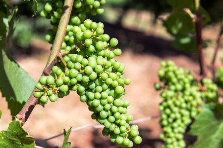 pinot noir: Closeup of Pinot Noir grapes near Dundee, Oregon