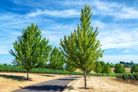 dundee: Tree lined country road among vineyards near Dundee, Oregon Stock Photo
