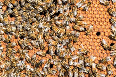 Closeup view of bees near Sheridan, Wyoming Imagens
