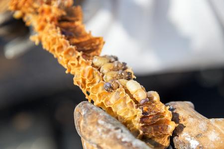 Bee grubs on honeycomb in Wyoming, USA