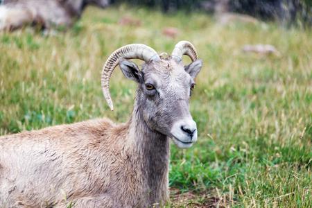 rocky mountain bighorn sheep: Closeup view of a female Bighorn Sheep, known as an Ewe