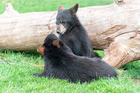 playful: Playful black bear cubs