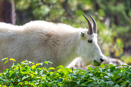 billy goat: Rocky mountain goat in Custer State Park in South Dakota