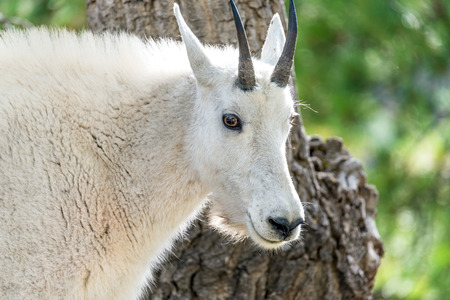 billy goat: Closeup of the face of a rocky mountain goat in Custer State Park in South Dakota