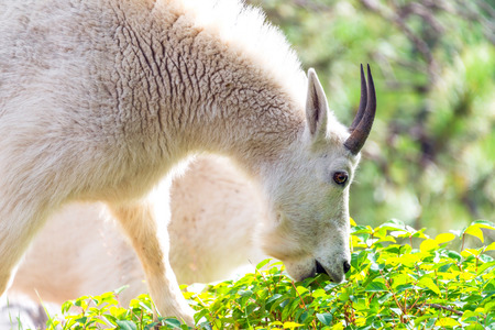 billy goat: Closeup picture of a rocky mountain goat eating in Custer State Park Stock Photo