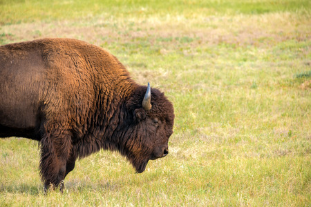 national parks: View of a single bison in Custer State Park, South Dakota