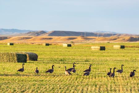canada goose: Canada geese in a field near Buffalo, Wyoming
