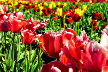pink skies: Closeup view of vibrant red Tulips in Woodburn, Oregon