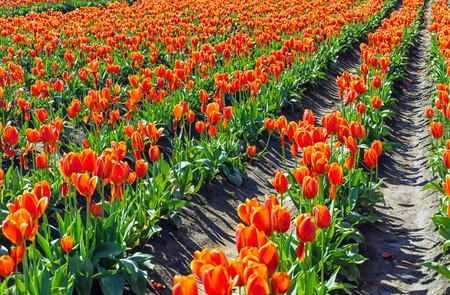 pink skies: View of a field of orange tulips in Woodburn, Oregon Stock Photo