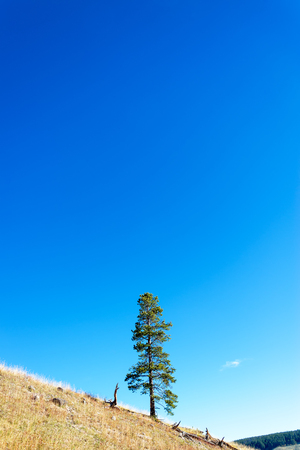 lone pine: Lone pine tree standing on a hill in Yellowstone National Park