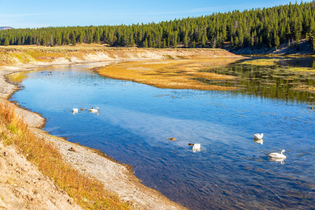 View of the Yellowstone River with Trumpeter Swans in Yellowstone National Park Stock Photo