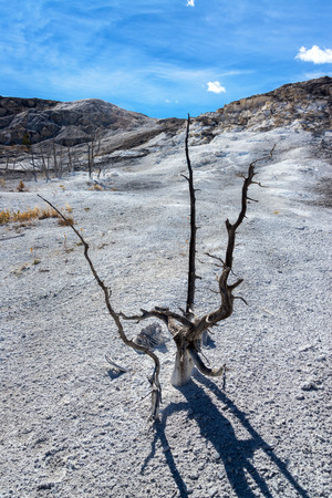 hostile: Dead tree in a hostile environment at Mammoth Hot Springs in Yellowstone National Park