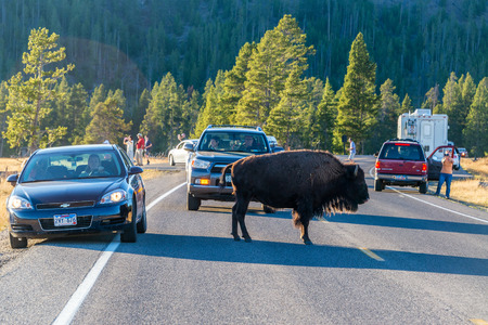 tourists stop: YELLOWSTONE NATIONAL PARK, WY - SEPTEMBER 10:  Tourists stop on road in Yellowstone National Park to look at a bison on September 10, 2015