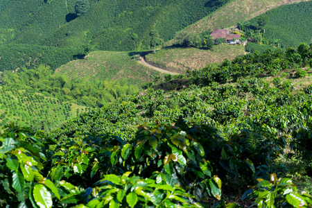 View of green coffee plants growing near Manizales, Colombia Stock Photo