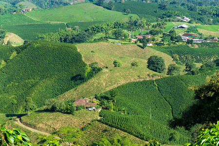 Landscape of coffee plants in the coffee growing region near Manizales, Colombia
