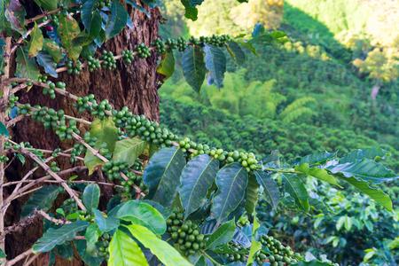 Cultivo de frutas en las ramas de una planta de café fuera de Manizales, Colombia