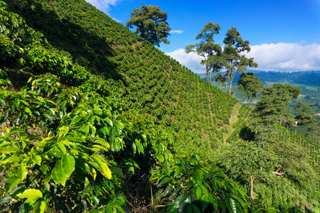 Coffee plant covered hills rising above a valley near Manizales, Colombia