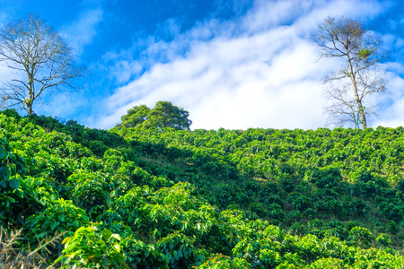 Coffee plants growing on a hill outside of Manizales, Colombia