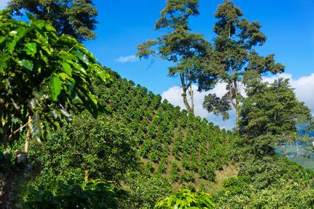 cafe colombiano: Paisaje de colinas cubiertas de delicioso café de Colombia cerca de Manizales, Colombia Foto de archivo