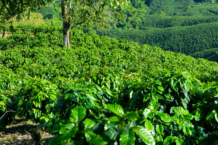 Endless rows of coffee plants on a coffee plantation near Manizales, Colombia